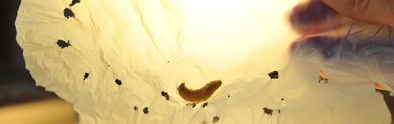 Larva biodegradable