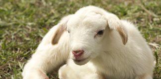 Estudio para medir el dolor en las ovejas