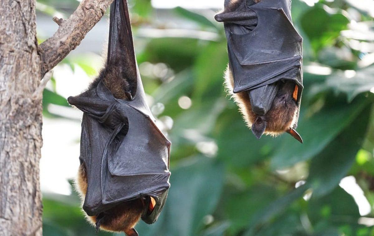 parásito encontrado en el guano de murciélago