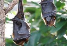 murciélagos en peligro de extinción