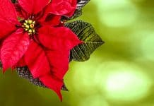 La flor de nochebuena historia México